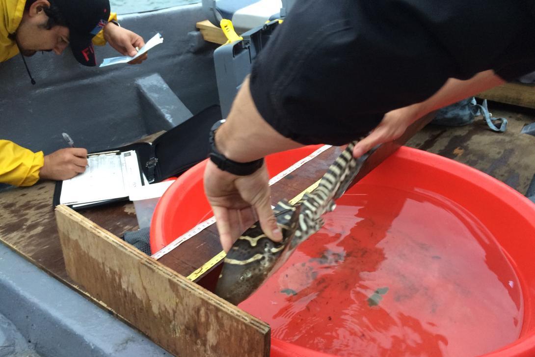 Científico líder en conservación de tiburones midiendo un tiburón cebra joven.